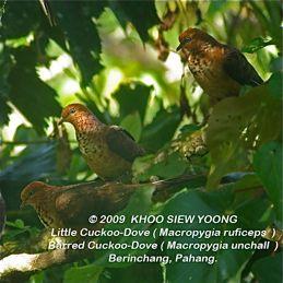 Cuckoo Doves