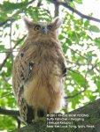 Owl BF-11 days J-N1595 copy