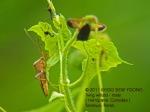 1 Twig wilters-M left N2694 copy