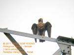 Falcon Peregrine-F N1738 copy