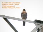 Flcon Peregrine-F N1703 copy