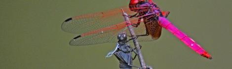 Dragonfly Crimson Marsh Glider