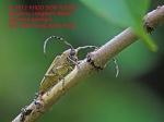 Beetle Mulberry Longhorn