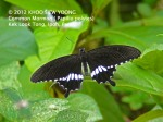 butterfly Common Mormon