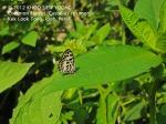 butterfly Common Pierrot