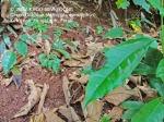 Butterfly Green Oakblue