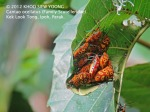 Bug Cantao ocellatus