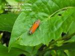 Bythoscopus ferrugineus Beetle -N9891 copy
