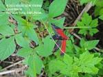Lycid Beetle (Net-winged beetle)   5308 copy