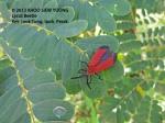 Lycid Beetle (Net-winged beetle)  5442 copy
