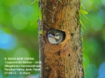 2 Coppersmith Barbet-chick 9388 copy