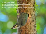 3 Copperssmith Barbet-crawling out 10.45am-9393 copy