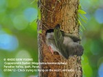 4 Coppersmith Barbet-chick trying to hang outside nest 9408