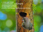 5 Coppersmith Barbet-chick hanging 9416 copy