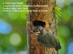 6 Coppersmith Barbet- chicked fledged 10.46am-9420 copy
