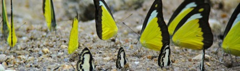 Butterfly Albatross-Pierrot-Yellow Grass