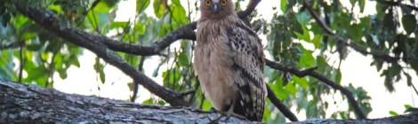 Buffy Fish Owl-juv