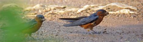 Rufous-bellied Swallow-pair
