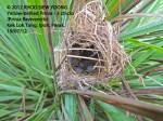Yellow-bellied Prinia-3 chicks