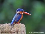 King Fisher Blue-eared-F 5738