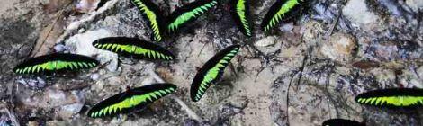 B'fly Rajah Brooke's Birdwings-puddling 9169