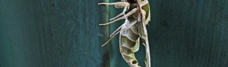 Moth Oleander Hawk 9459