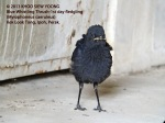 Thrush BW-1st Day fledgling 8725
