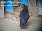 Thrush BW-1st day fledgling 8736
