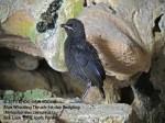 Thrush BW-1st day fledgling-8820