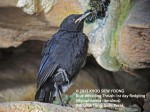 Thrush BW-1st day fledgling-8857