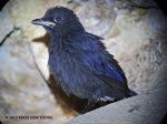 Thrush BW-1stday fledgling-OBI 8660