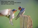 Swallow-Pacific-adults-8313