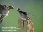 Swallow-Pacific-feeding-8417