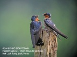 Swallow-Pacific-pair-8153