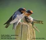 Swallow-Pacific-paretns&J-8346