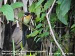 Cuckoo Chestnut-winged 8631