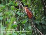 Cuckoo Chestnut-winged 8680