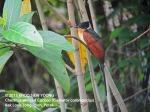 Cuckoo Chestnut-winged 8767