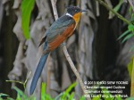 Cuckoo Chestnut-winged 8790