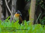 Cuckoo Chestnut-winged 8798