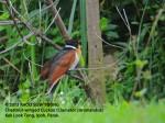 Cuckoo Chestnut-winged 8817