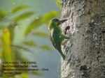 Barbet Red-throated-M 5088 copy