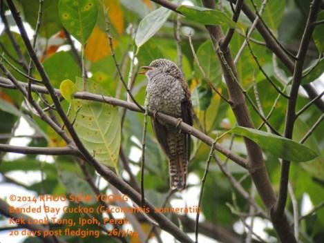 Cuckoo Banded Bay-20D fledging-3247 copy
