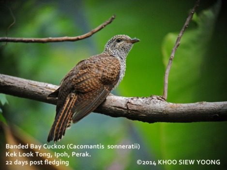 Cuckoo Banded Bay-22D fledging-3586 copy