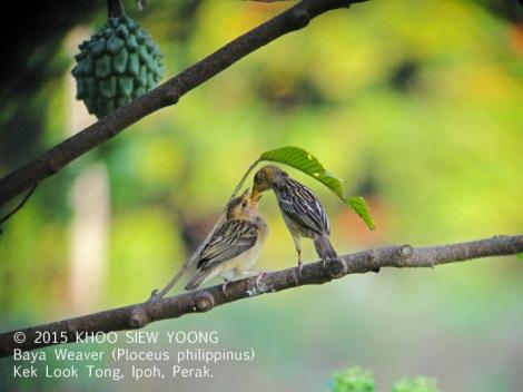 Weaver Baya-F feeding-8632