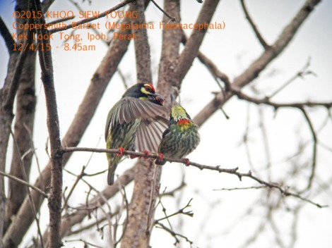 Barbet Coppersmith-mating 9323