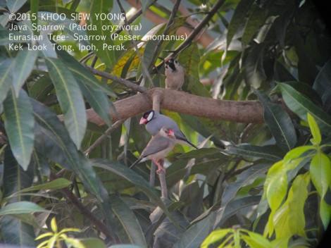 Sparrow Java&Eurasian-0827 copy